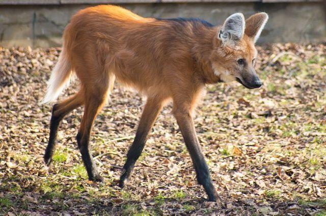 ВМосковский зоопарк изПраги привезли редкую гривистую волчицу