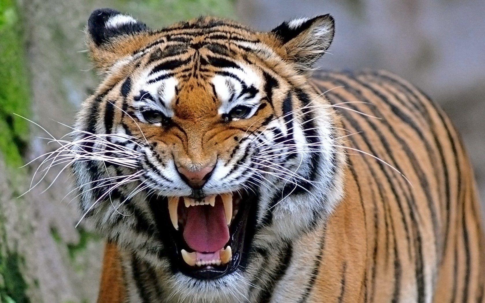 В Индии тигр-людоед ворвался на свадьбу