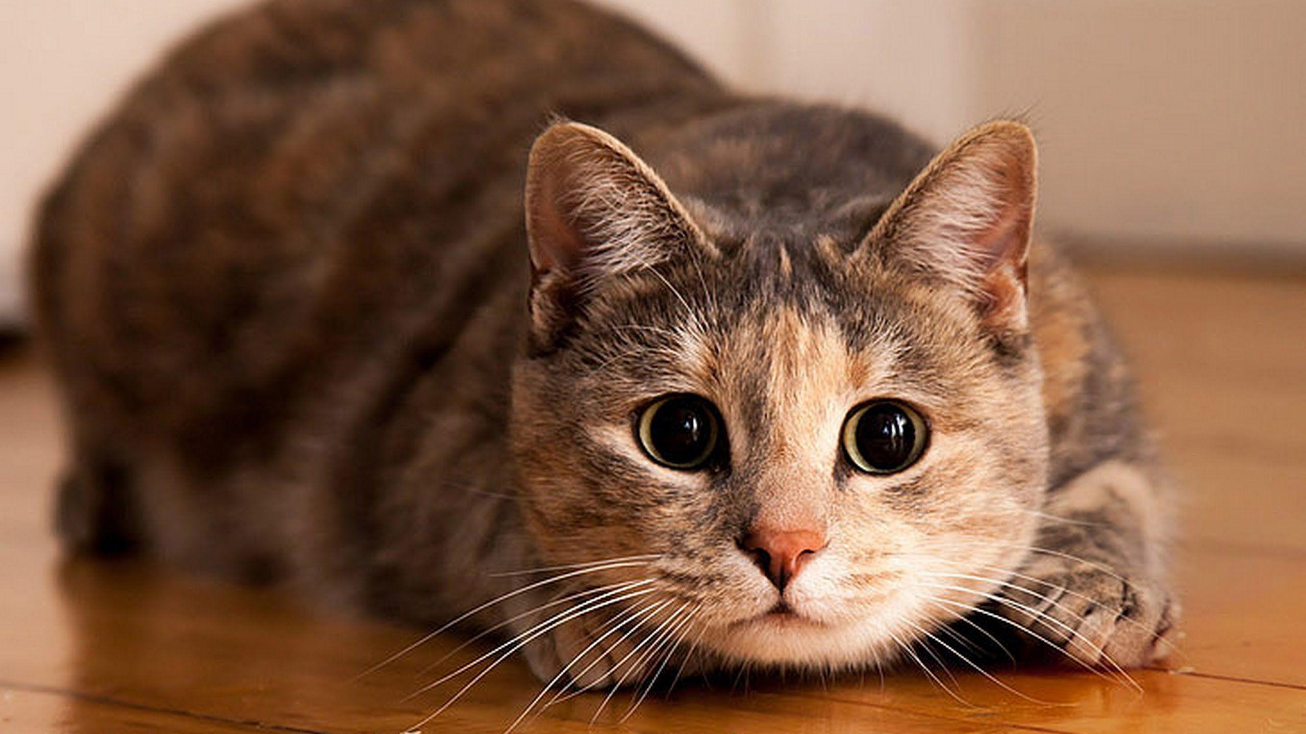 Ученые обнаружили среди кошек «правшей» и«левшей»