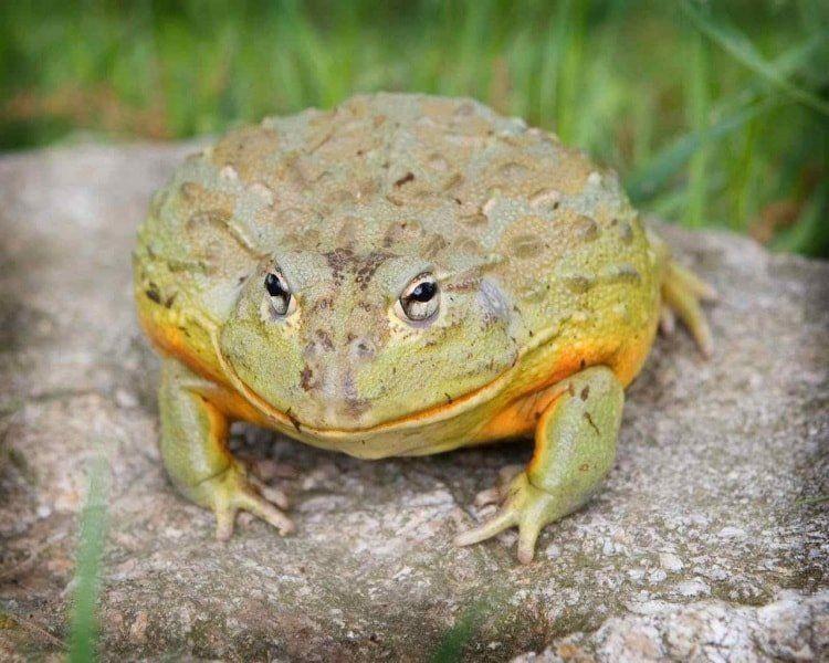 Большие жабы картинки