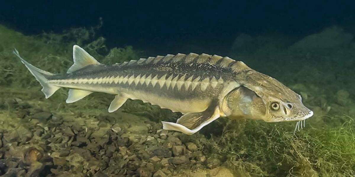 рыба осетр фото и описание